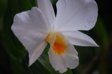 カトレアの花言葉