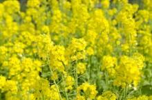 菜の花 栄養